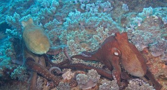 Octopi-mating-11-M.jpg